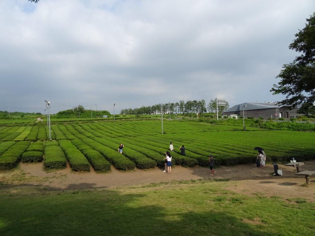 Teeplantage beim Osulloc Tea Museum auf Jeju